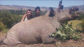 Tokat'ta 350 Kg'lık Domuz Vurulması