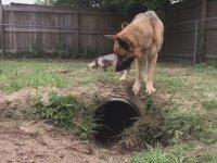 Köpeği Şamar Oğlanına Çeviren Tilki