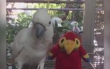 Papağanlığını Yapan Papağana Ayar Olan Papağan