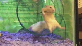Arkadaşının Çarkta Aklını Hamster