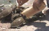 Kaplumbağaların Ekmek Savaşı  Balıkesir