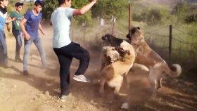 Kangal Köpeklerinin Feci Dövüşü