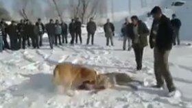 Karda Kangal Dövüşü Yaptıran Adamlar