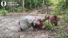 Başına Çuval Geçiren Orangutanın Komik Halleri