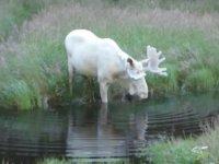 Ender Rastlanan Beyaz Geyiğin Görüntülenmesi - İsveç