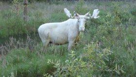 İsveç'te Beyaz Geyiğin Görüntülenmesi