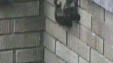 Yavru Ördeklerin Duvar Tırmanışı.