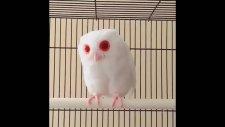 Daha Önce Hiç Albino Baykuş Gördünüz Mü Olağanüstü
