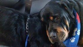 Ölen İkiz Kardeşinin Yasını Tutan Rottweiler