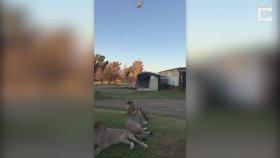 Drone İle Aslanlara Egzersiz Yaptıran Adam