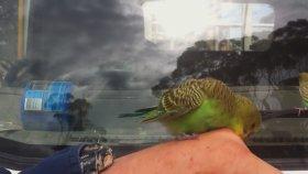 Doğal Ortamlarında Muhabbet Kuşları