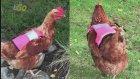 İskoçya'da Tavuklar Ezilmesinler Reflektörlü Yelek Giydiriyorlar