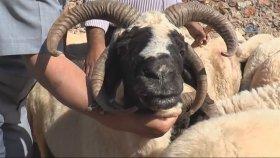 4 Boynuzlu Koyun Görenleri Şaşırtıyor